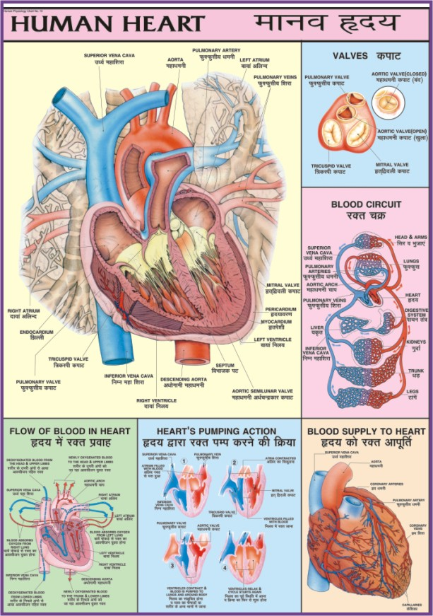 Human physiology chart paper laminated 70 x 100 cms with roller laminated ccuart Gallery